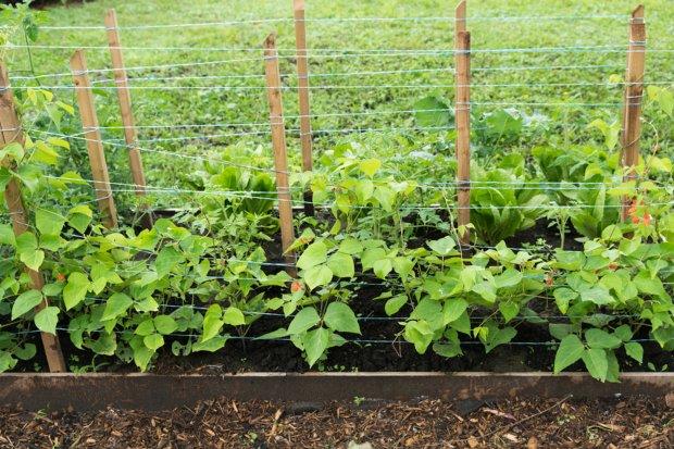 Super Bohnen - Anbau im Gemüsegarten - GuteKueche.ch @TI_31