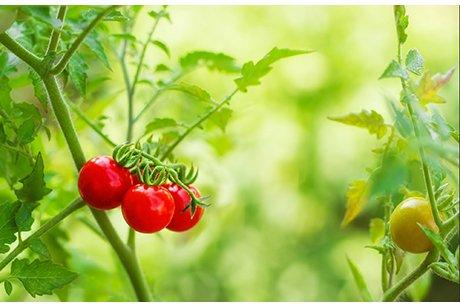 tomaten anbau im gem segarten. Black Bedroom Furniture Sets. Home Design Ideas